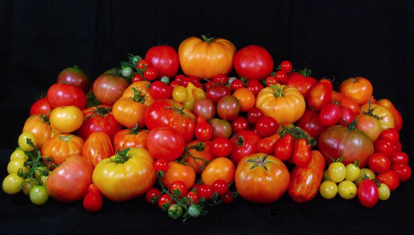Il Pomodoro: coltivazione e varietà
