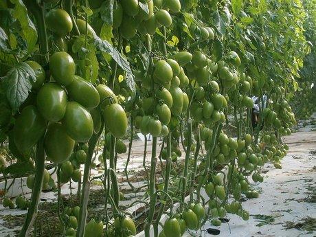 I Pomodori Verdi: come utilizzarli al meglio in cucina
